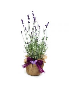 English Lavender Plant